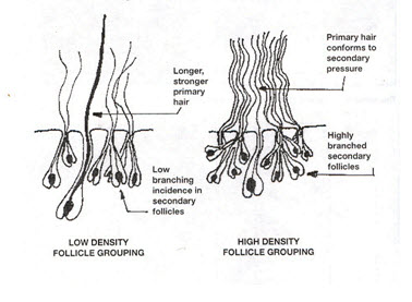 Primary vs Secondary Follicles