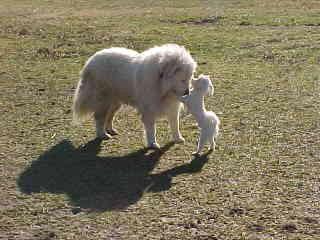 Clover & Herbert Guardians Not Alpacas