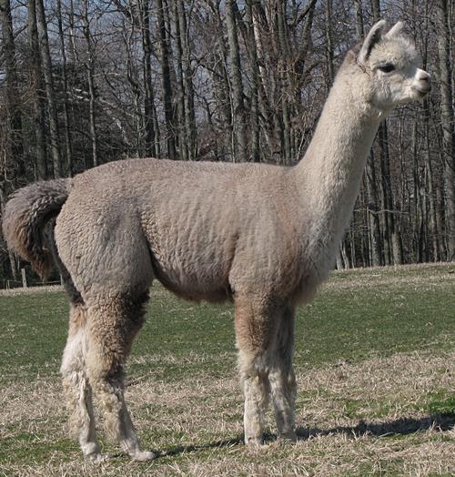 Alpacas for sale kinkora rosa huacaya female proven for Mercedes benz financial services lienholder address