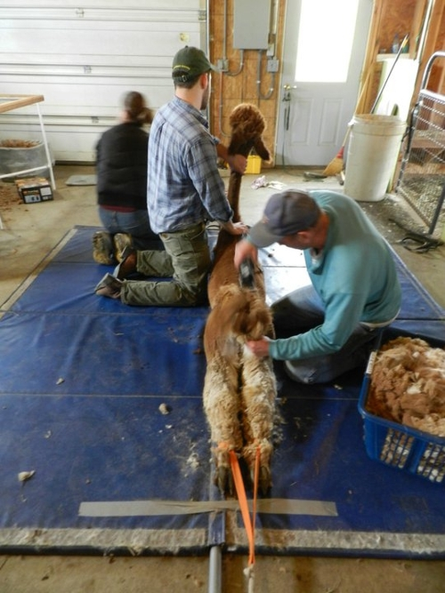 Completing the shearing with just the tail left