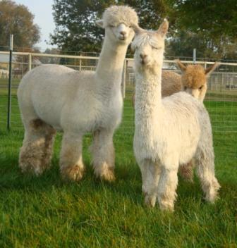 My BFF! - Huacaya & Suri Alpacas
