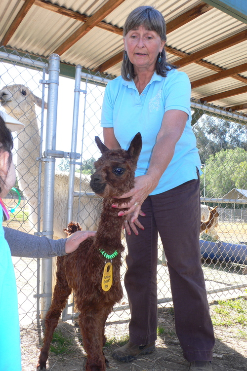 Cindy with a lustrous brown suri cria
