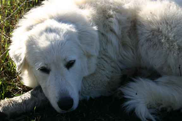 Great Pyr, Matisse who watches over our alpacas at Beer Run
