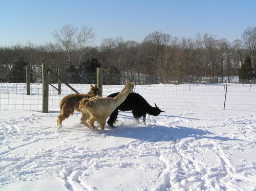 Suri alpacas Playing!