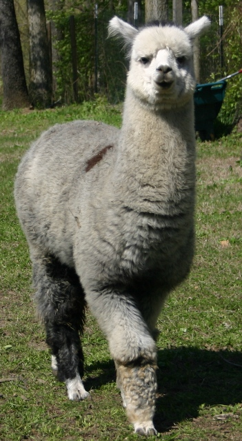 Adorable alpacas