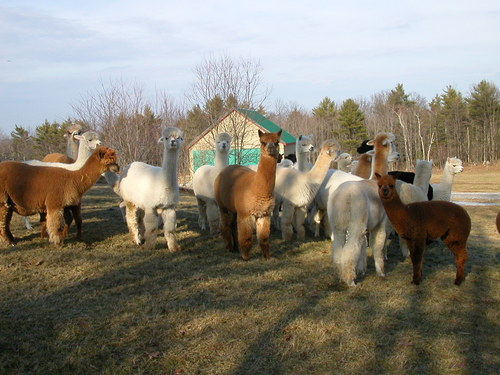 Alpacas are curious, gentle animals with their own individual personalities!
