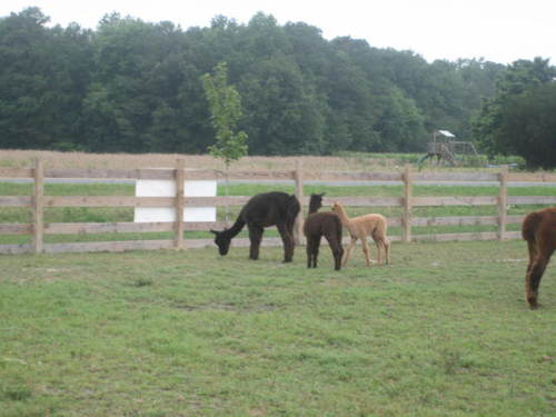 Grazing alpacas!