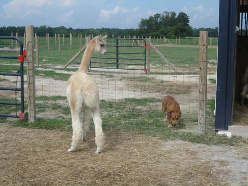 Curious alpacas!