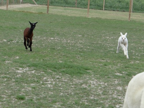 Baby alpacas playing!
