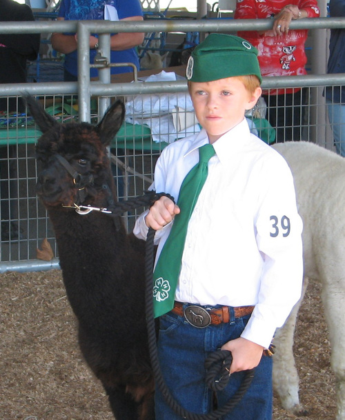 Justen paricipates in a 4-H alpaca event.