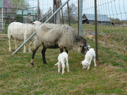 Goatzz goatzz lassen view alpacas more farm news for Alpacas view farm cuisine