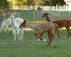 "Baby alpacas, called cria, ""pronking"""
