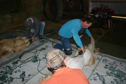 Sheering off the prime fleece