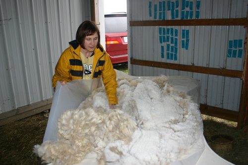 Rolling up the shorn fleece