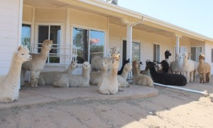 From city life to La Dolce Vita and alpacas in Ramona