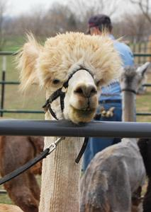 Alpacas Find Home at Weston