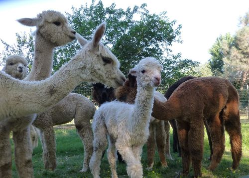 Meeting the herd.