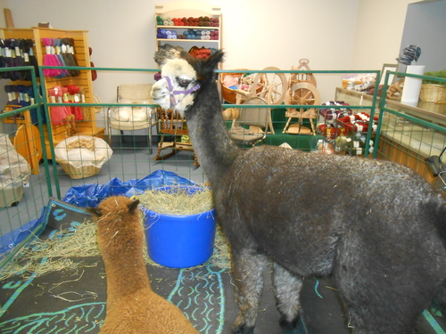 Alpacas in my yarn store!