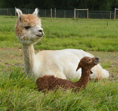 "Mom and baby (""cria"") enjoying the pasture!"