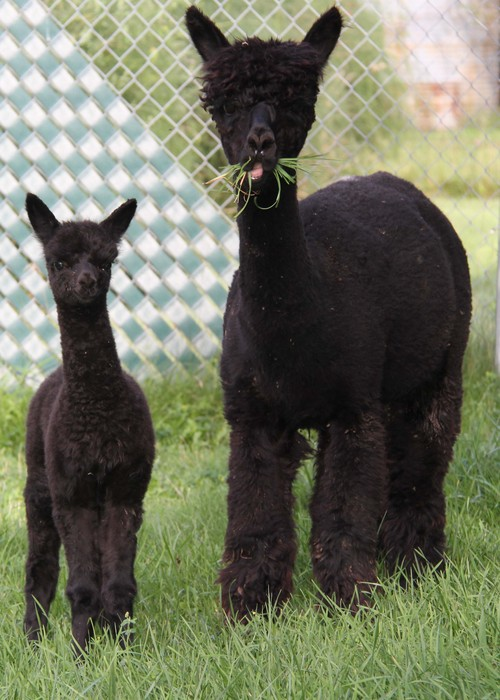 Enana and Wasabye - cookie cutter results thru breeding pre-potent females..