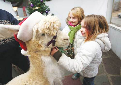 Alpacas charm public at annual holiday extravaganza