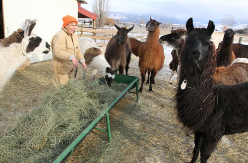 No vacancy: Safe Haven Llama and Alpaca Sanctuary above capacity