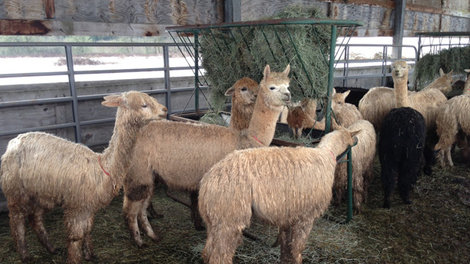 Many of 175 rescued alpacas ready for adoption