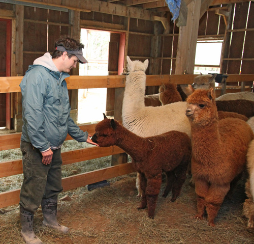 Alpacas are gentle and curious