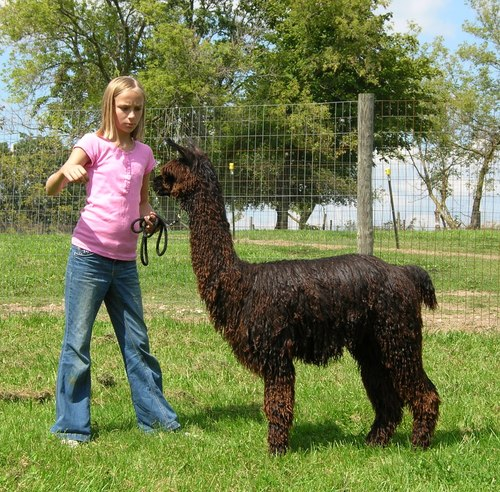 Molly with Hope, a Suri alpaca