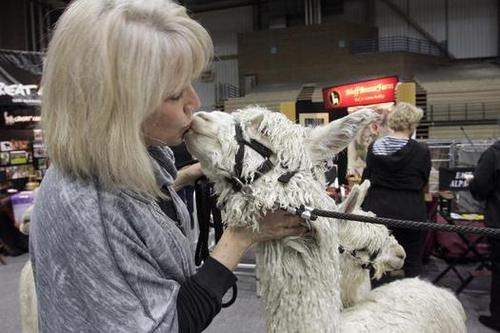 Alpaca show brings out warm and fuzzy feelings