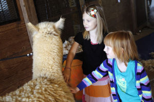Alpacas have mixed feeling on shearing