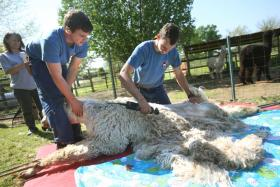 Local alpaca farm is host to shearing day