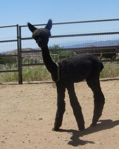 Kenya after shearing