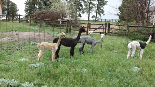 Alpacas post-shearing