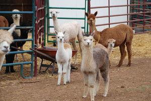 Area farm provides safe haven for alpacas