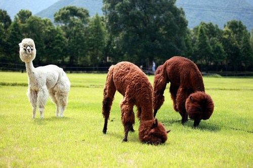 13 alpacas culled because of 'Q-fever'