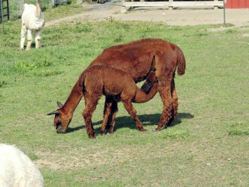 Couple to open store at Lebanon County alpaca farm