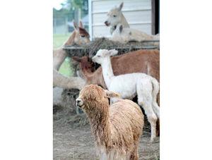 Head to Raynay Alpaca Farm Sept. 27