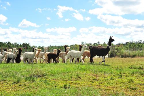 Follow us to Carolina Pride Alpacas!
