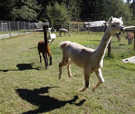 Alpacas to zinfandel, plenty to explore on Whidbey farm tour