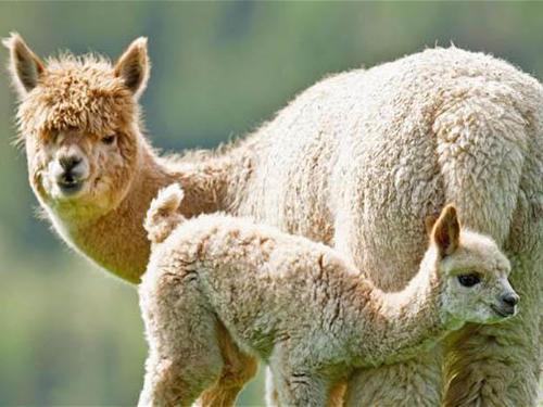 Alpaca fur a hit in New Zealand
