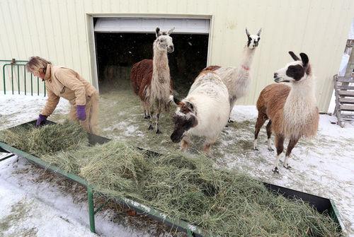 Hay shortage: Safe Haven Llama and Alpaca Sanctuary looking for donations