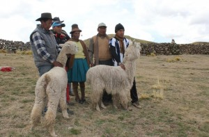 Alpaca farming threatened by climate change