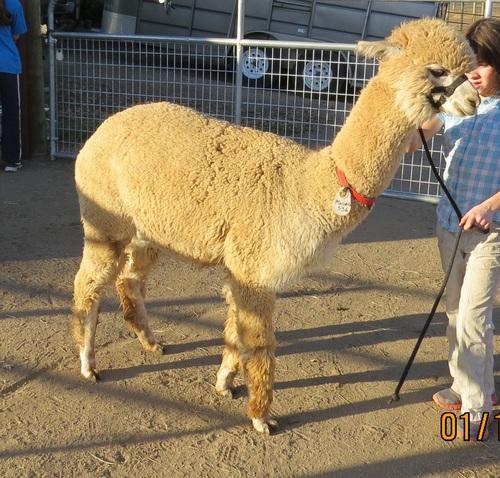 Calpaca alpacas for sale estates meredith rock star xx for Rock star photos for sale