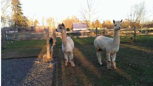Alpacas settle in at Wakeman Town Farm