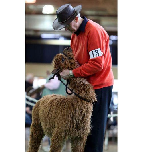 Fleecy animals strut their fiber at alpaca show