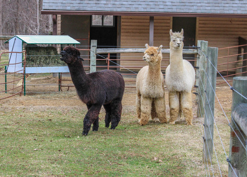 Alpaca's use a loud, staccato alarm call when threatened.