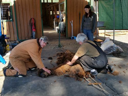 Shearing Tyler
