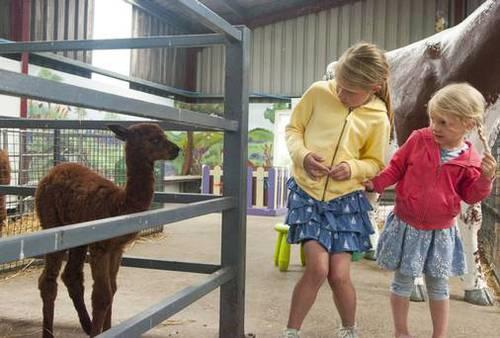 First baby alpaca born at Co Down open farm just so cute