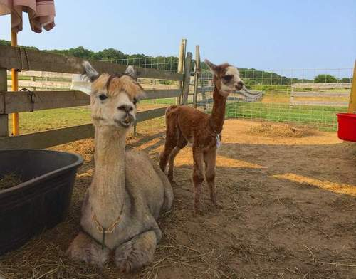 Alpaca injury discovered after break-in